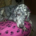 Bella: 12 Year Old English Setter Diagnosed With Canine Hyperthyroidism By Her Vet.
